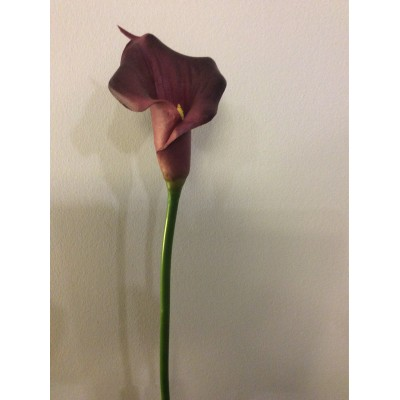 Cala lily-mov
